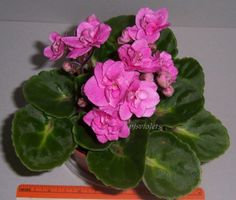 african-violet-Rococo-plant-in-4-inch-pot