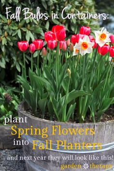 Plant Spring Flowers in your Fall Planters so next spring they look like this! If you dig the bulbs in now, you can plant fall annuals or even make holiday planters. Lots of examples and design ideas in the post!