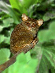 Tarsier, the smallest primate, West Java, Indonesia