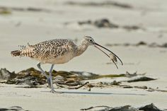 Asaves limícolas, como os maçaricos, vasculham a areia à procura de comida.