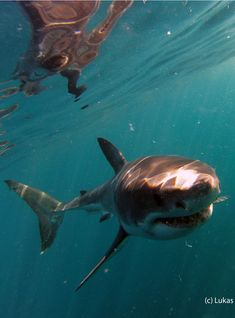 A Great White Shark hunting for it's pray - an underwater shark imahe