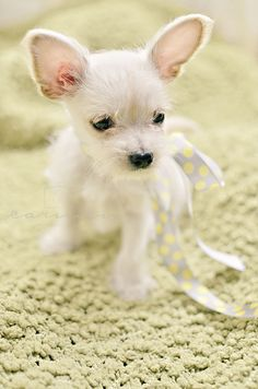 Maltese-Chihuahua puppy - I think i just figured out what Bella is...this looks just like her when she was a puppy!