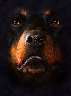 rottweiler sleeping wallpapers hd - Buscar con Google
