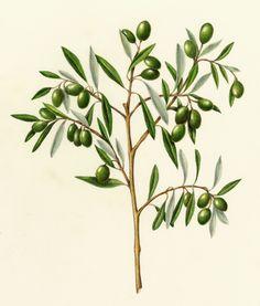 Olive branch, illustrated.
