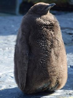Asahiyama Zoo, Asahikawa, Hokkaido, Japan, 旭山動物園, 旭川, 北海道, 日本, penguin