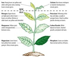 What's wrong with this plant? This nutrient diagram will show you!