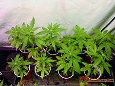 • Bruce Banner 2.0 from Dark Horse Genetics Just sexed these seedlings and 10 out of 12 are girls. WooHoo! • TAP LINK IN BIO • http://420dotcom.com/bruce-banner-seeds.html for full grow journal • #gorillaglue #gorillaglue4 #gorillagluestrain #gorillaglueseeds #gorillabubble #tonygreenstorturedbeans #420 #ganja #weed #marijuana #cannabis #medicalmarijuana #mmj #ogkush #og #loud #dank #hydroponics #aeroponics #howtogrowweed #growingweed #420dotcom #closetgrow #howtogrowweedindoors…