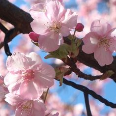 【yum1216】さんのInstagramをピンしています。 《Spring is coming soon. photo by 2/11.2017 #my_eosm10 #eosm10 #山が好き #花が好き #花 #flower #flowers #park #flowerphotography #はなまっぷ #春はもうすぐ #spring #yokohama #enoshima #蕾 #つぼみ #河津桜 #桜 #満開 #walking #walk #cherry #tree #pink #cherryblossoms #winter #江ノ島 #サムエルコッキング苑 #sakura #wp_flower》