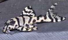 L236 - Super White Pleco #TropicalFishFreshwater