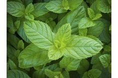 In your garden, mint is the devil. Seventeen years ago, I planted one, tri-stemmed Chocolate Mint (Mentha x piperita) plant, and it invaded every bare inch of Get Rid Of Pores, Shrink Pores, Network For Good, Herbal Oil, Blackhead Remover, Edible Garden, Mint Chocolate, The Fresh, Preserves
