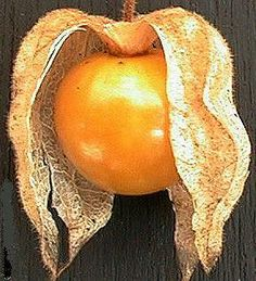 GOLDENBERRY (Physalis peruvianus) This Andean fruit looks like a Chinese lantern in its papery husk. The marble sized fruit is semi-tart and pleasant tasting.