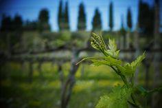 The screws of the vine in the La Grola Vineyard of Allegrini.