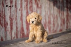 Leash Training, Crate Training, Labradoodle Puppies For Sale, On Shot, 8 Month Olds, Doodles, Dogs, Animals, Animales