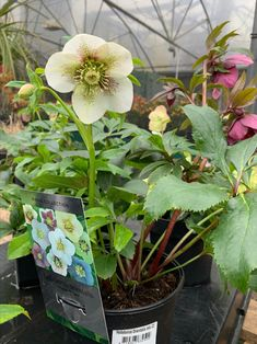 #winter #flowers Lenten Rose, Winter Flowers, Flower Pots, Plants, Container Plants, Flora, Plant, Flower Planters, Planting
