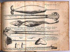 Narwhal Tusk - Copper Engraving from 1746 Narwhal Tusk, The Narwhal, Curious Creatures, Sea Creatures, Whale Facts, Kraken, Best Graphics, Nature Animals, Science Nature