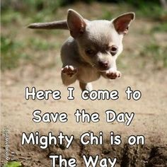 Effective Potty Training Chihuahua Consistency Is Key Ideas. Brilliant Potty Training Chihuahua Consistency Is Key Ideas. Chihuahua Quotes, Cute Chihuahua, Chihuahua Puppies, Cute Puppies, Dogs And Puppies, Akita Dog, Cute Baby Animals, Funny Animals, Animals Dog