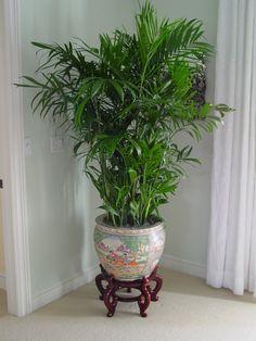 Chamadorea Palm