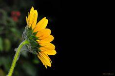 """https://flic.kr/p/d6JEfW   Phototropisme   Phototropisme / MVD0830©  Le tournesol, plante bien connue sous le nom de """"soleil""""   Phototropisme Se dit d'un organisme vivant dont la croissance est orientée sous l'influence de la lumière, on parle de phototropisme. Les tournesols sont donc attirés par la lumière pendant leur croissance, c'est le phénomène du phototropisme. Par ce mécanisme, la plante arrive à trouver systématiquement les meilleures conditions d'ensoleillement pour réal..."""