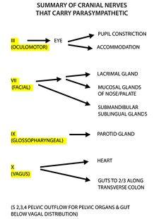 Instant Anatomy - Head and Neck - Nerves - Cranial - Cranial nerves that carry parasympathetic Anatomy Head, Nerve Anatomy, Medical Mnemonics, Pharmacology Nursing, Dental Anatomy, Medical Anatomy, Nursing School Notes, Ob Nursing, Nursing Schools