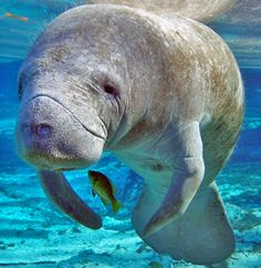 """So sad """"A record number of endangered manatees are dying in Florida's algae-choked waterways—with as many as 10 deaths each day. >>> Donate To Earthjustice now to save endangered manatees!"""""""