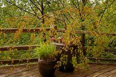 Cercidiphyllum Japonicum Pendulum Amazing Grace