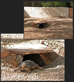 Are you thinking of buying a tortoise to keep? If so there are some important things to consider. Tortoise pet care takes some planning if you want to be. Tortoise House, Tortoise Habitat, Tortoise Table, Turtle Habitat, Tortoise Food, Outdoor Tortoise Enclosure, Turtle Enclosure, Turtle Homes, Sulcata Tortoise
