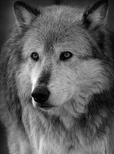wolf ioeuthpiuelbk