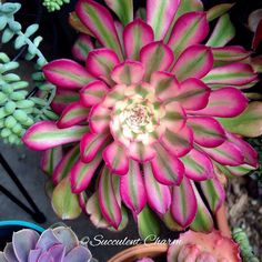My amazing Aeonium \' Mardi Gras \' ...one of my favorite succulents! #succulentcharm #succulents #aeonium #mardigras
