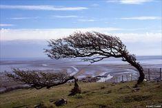 Windswept trees at Humphrey Head South Cumbria.