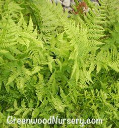 Lady Fern Woodland Garden Plant $8.95