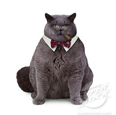 cat in bow tie. Fourth in a series.