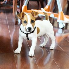 """""""Love you guys and thanks for keeping up with me ❤️ ️ Jack Russell Mix, Jack Russell Puppies, Animals And Pets, Baby Animals, Dog Pounds, Parson Russell Terrier, Jack Russells, Jack And Jack, Puppy Pictures"""