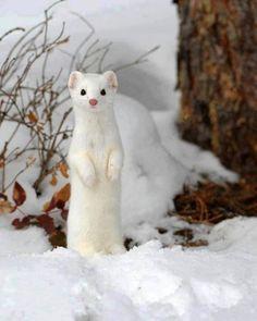 Animales albinos. Comadreja albina.