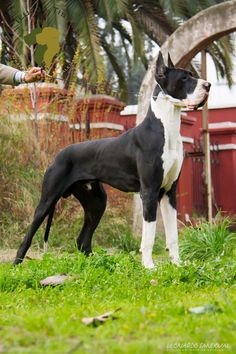 Great Dane Rescue, Great Dane Dogs, I Love Dogs, Big Dogs, Dogs And Puppies, Mantle Great Dane, Cute Animals Images, Animal Quotes, Dog Harness