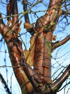 Betula utilis var. prattii - Beautiful and uncommon, Betula utilis var prattii originates from the Chinese side of the Himalayas and has lovely chestnut-red bark once established.