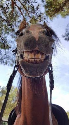 say cheese ;-))))) funny horse smiling - Horses Funny - Funny Horse Meme - - say cheese ;-))))) funny horse smiling The post say cheese ;-))))) funny horse smiling appeared first on Gag Dad. Funny Horses, Cute Horses, Pretty Horses, Horse Love, Beautiful Horses, Animals Beautiful, Horse Smiling, Smiling Animals, Animals And Pets