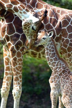 Kita and one of her recently born babies at Zoo Miami.