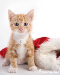 Jazz (Domestic Shorthaired) - Little kitten listens for Santa's jingle (pic by Rachael Hale)