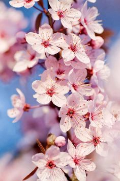 Color | Flowers: Japanese Cherry Blossom