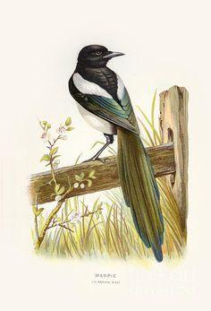 Magpie, Restoration, Bird, Animals, Vintage, Animales, Animaux, Birds, Animal