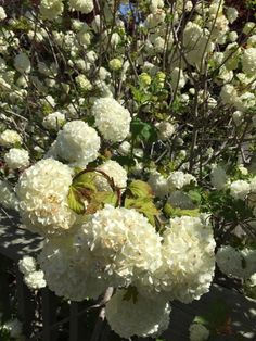 Common Snowball (viburnum opulus roseum): This viburnum grows 10 to 20 ft. tall and produces its snowball flowers in May. Viburnum Opulus Roseum, Snowball Viburnum, Plant Identification, Free Plants, This Or That Questions, Garden, Flowers, Garten, Lawn And Garden