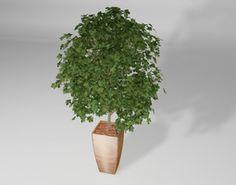 Plant Ahorn tree 3D Model