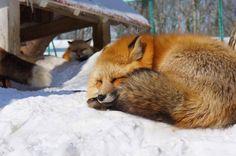 Fox village in Japan