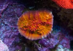 World Wide Corals | Buy corals online - LPS, SPS, Chalice, and soft corals for your saltwater aquarium in Orlando, FL.