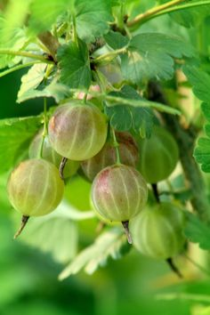 Gooseberries in order to grow need freezing winters and humid summers. These berries are so delicious! I remember picking these with my grandmother and making gooseberry jam. Fruit Garden, Edible Garden, Vegetable Garden, Fruit And Veg, Fruits And Vegetables, Fresh Fruit, Fruit Trees, Trees To Plant, Beautiful Fruits