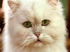 """""""Snowbell"""" from the Stuart Little trilogy -- :) These used to be my favorite movies Cats Bus, Cats And Kittens, Kitty Cats, I Love Cats, Cute Cats, Flea Shampoo For Cats, Toxic Plants For Cats, Teacup Cats, Allergic To Cats"""