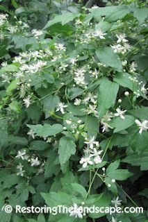 CLEMATIS VIRGINIANA - Virgin's Bower vine (See My Wildlife Plants ...