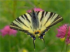 Segelfalter Iphiclides podalirius Scarce Swallowtail Schmetterlinge und Raupen Südeuropas Griechenland Italien Südfrankreich Spanien Portugal Korsika Sardinien Kroatien Schmetterling