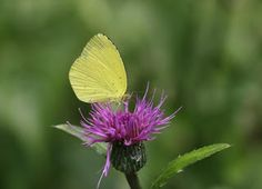 Kichou (japanese name) /  Eurema hecabe (scientific name)