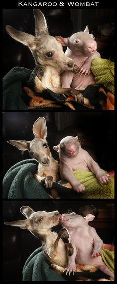 Interspecies Friendships, Kangaroo and Wombat. I couldn't resist, the wombat looks like he's laughing or drunk,LOL! Baby Wombat, Cute Baby Animals, Animals And Pets, Funny Animals, Unlikely Animal Friends, Australian Animals, Tier Fotos, Cute Creatures, Pet Birds
